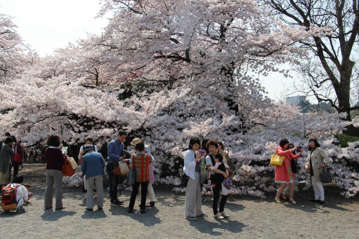 Rejse til Japan Sakura