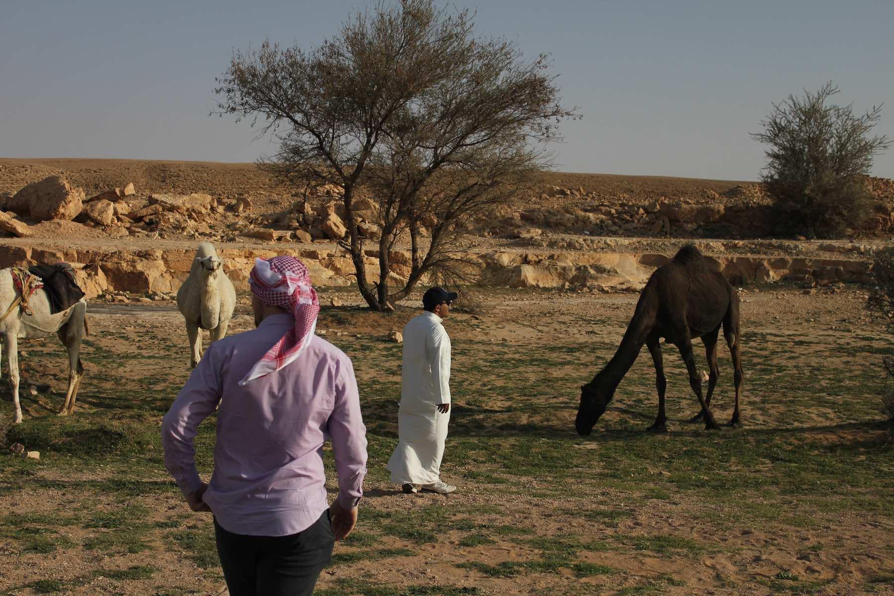 Kameler i Saudi Arabien